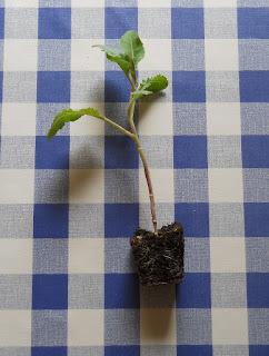 cultivo de coliflor