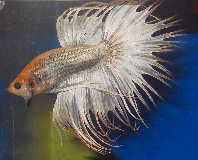 ikan cupang aduan