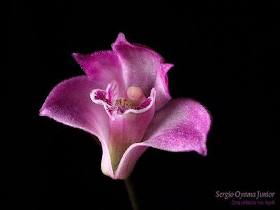 Orquídea Dendrobium kingianum