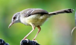 Tips Cara Merawat Burung Ciblek Agar Cepat Gacor