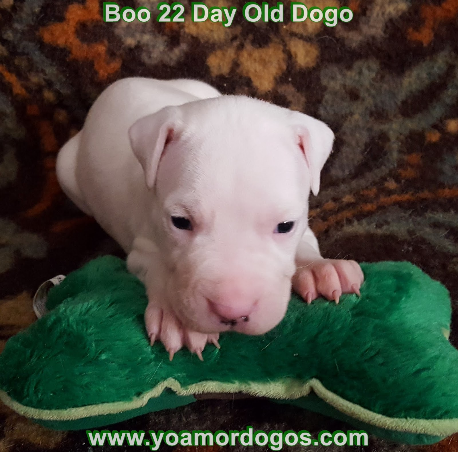 Yo Amor Dogo's: 22 Day Old Dogo Argentino Puppies for Sale