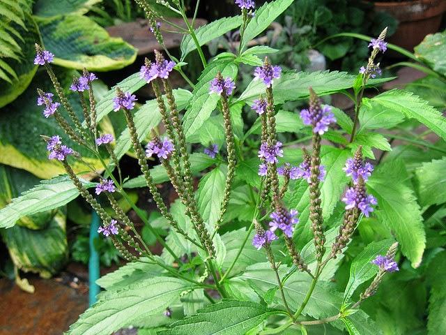 #Verbena (Verbena officinalis)