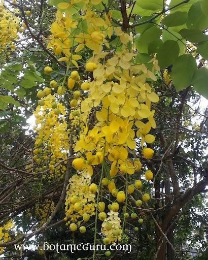 Cassia fistula, Golden Shower Tree, Indian Larbunum flowers