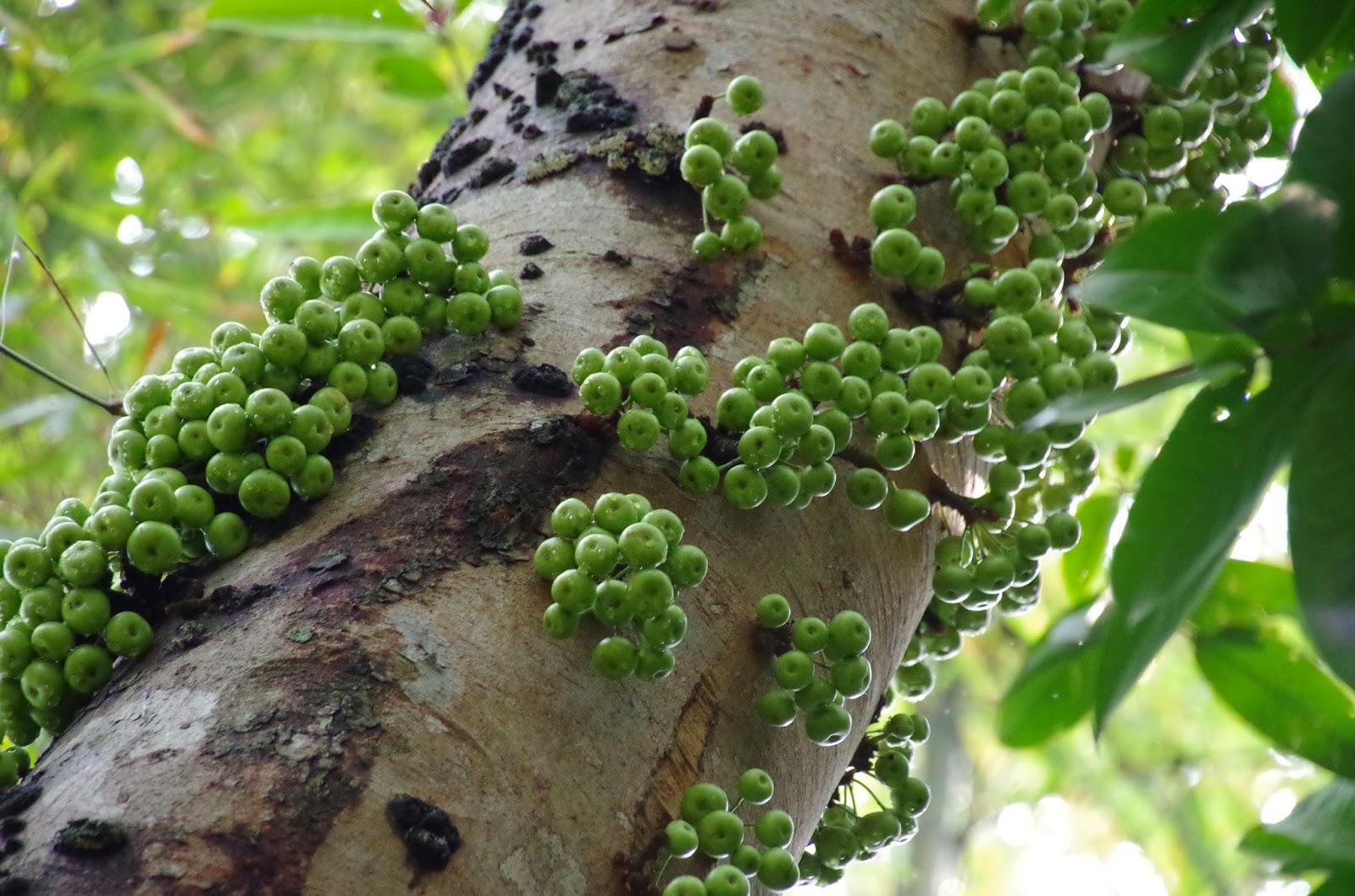 Trees And Plants Yellow Stem Fig Ficus Fistulosa I