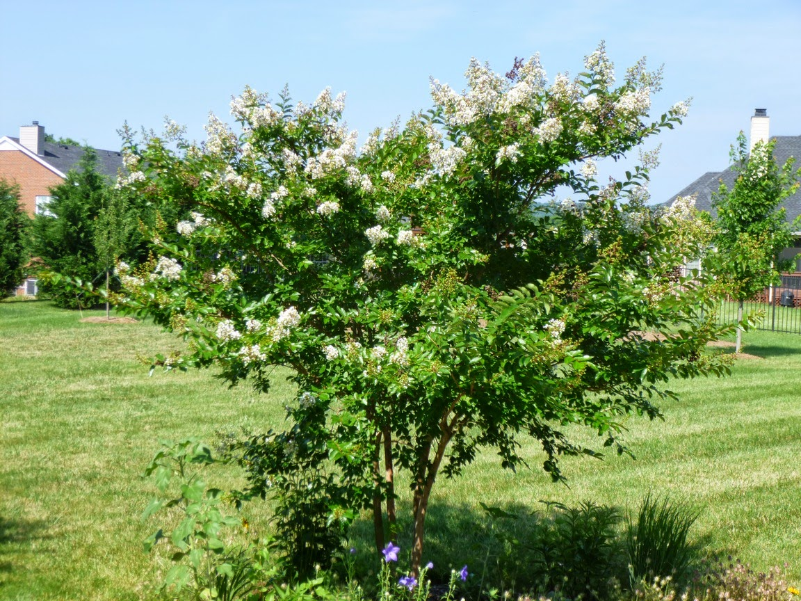Natchez Crape Myrtle leafed out and flowering in mid-June in Middle Tennessee
