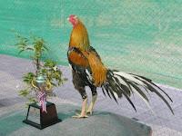 8 Warna Bulu Ayam Bangkok Aduan Yang Paling Populer