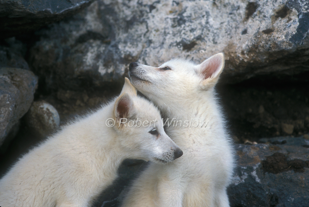 White Wolf : Charming Photos Of Arctic Wolf Pups With Red ... White Wolf Puppies