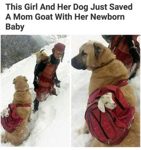 This girl and her dog just saved a mom goat with her newborn baby.