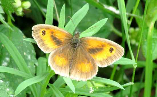 Photograph of a gatekeeper butterflies spotted in Gobions Wood. Image by David Brewer released under Creative Commons BY-NC-SA 4.0