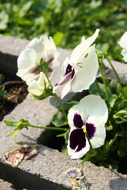 pansies, cinderblocks, cinderblock raised beds, Anne Butera, My Giant Strawberry