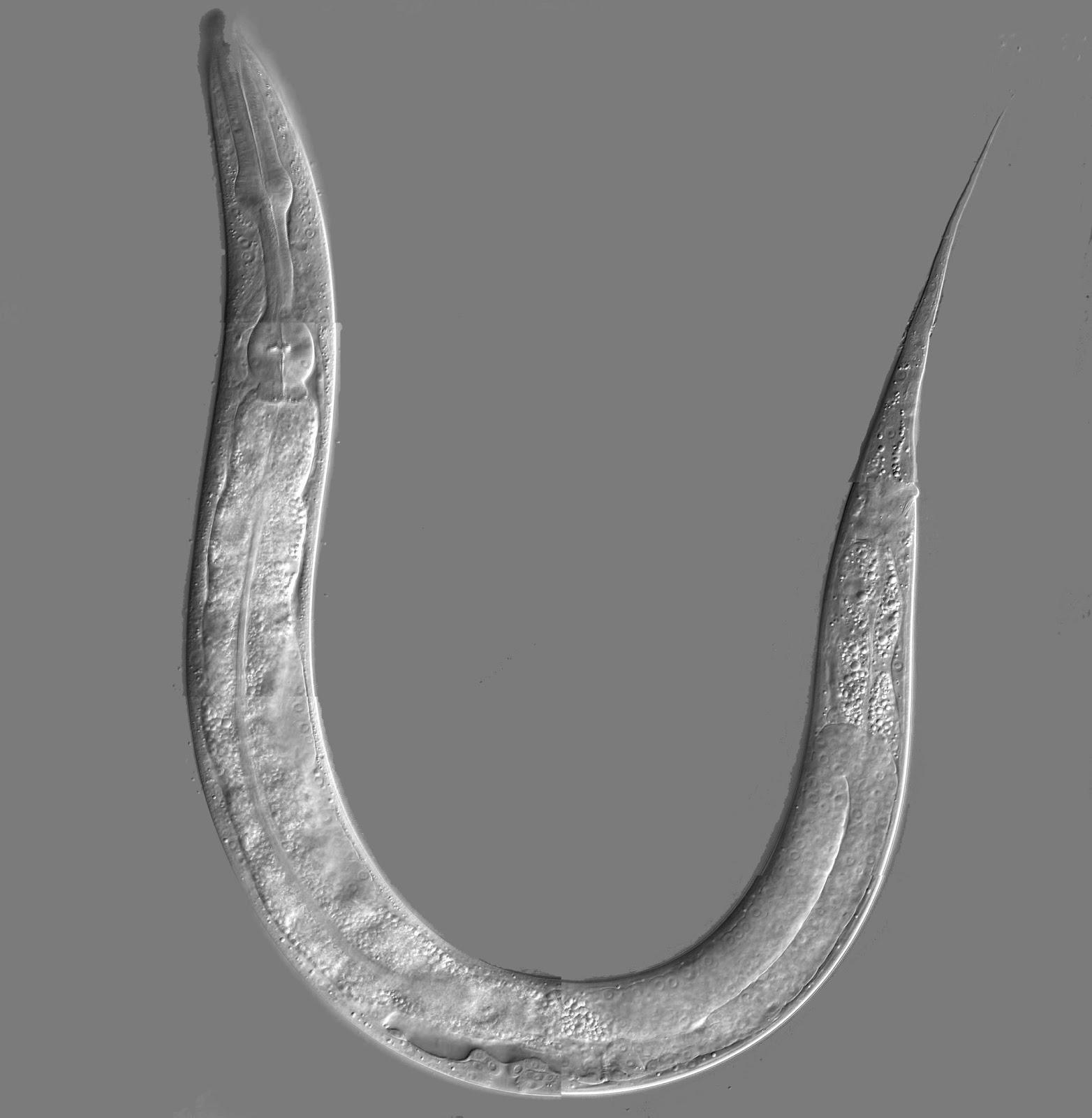 Tweaking One Enzyme Doubles A C Elegans Worms Lifespan