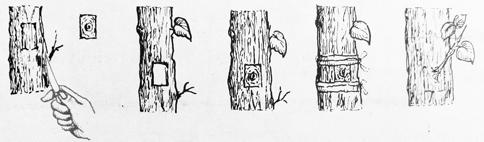 image: reproduksi vegetatif buatan