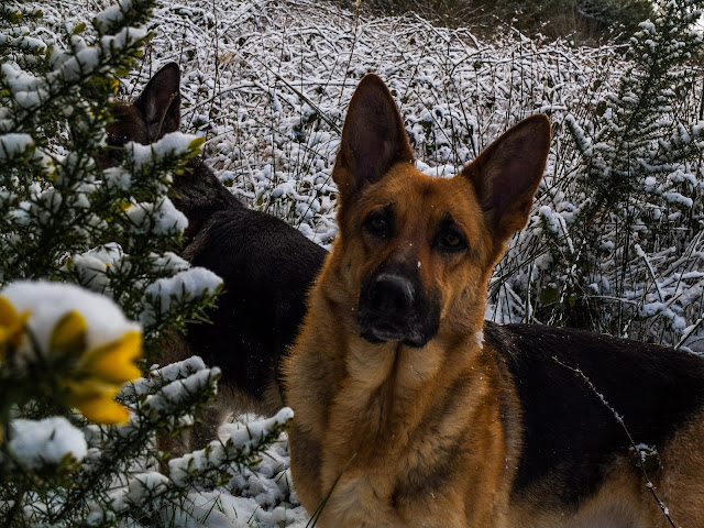 A German Shepherd female looking at the camera surrounded by snowy branches.