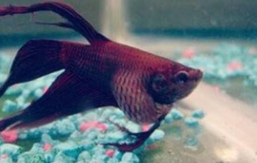 Cara Mudah Merawat Ikan Cupang yang Kembung