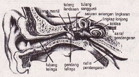 Bagian Telinga