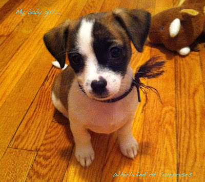 Adorable Jack Russell puppy
