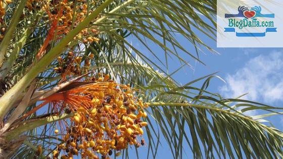 Kurma adalah tanaman pembawa kekayaan menurut Islam