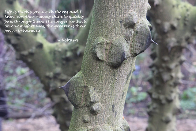 Thorny Zanthoxylum piperitum