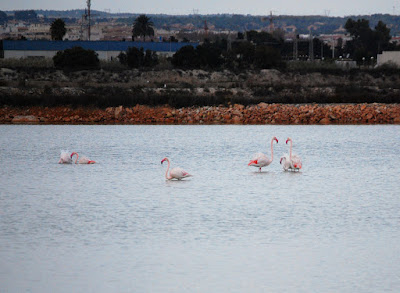 Flamingoes - San Pedro del Pinatar - Nov 2017
