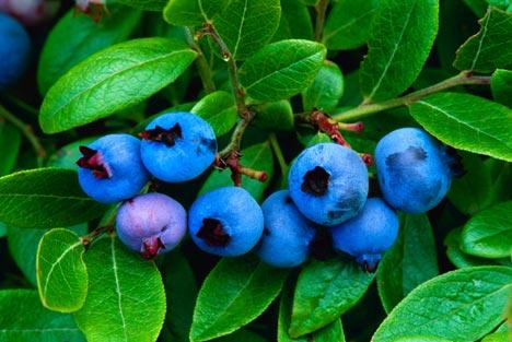 Mengenal Tumbuhan Blueberry