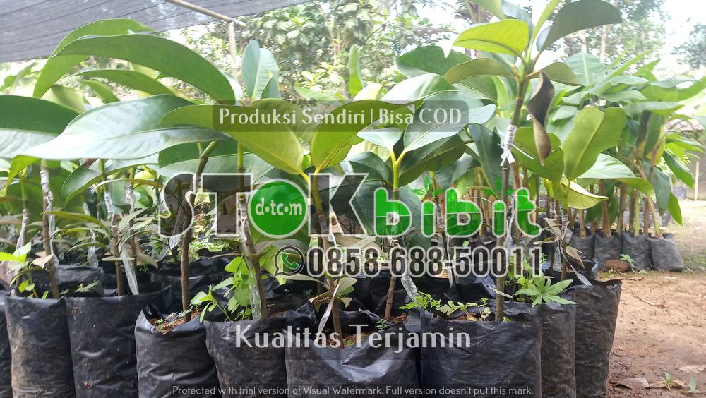 Bibit Durian Bawor    terjamin       Berkwalitas