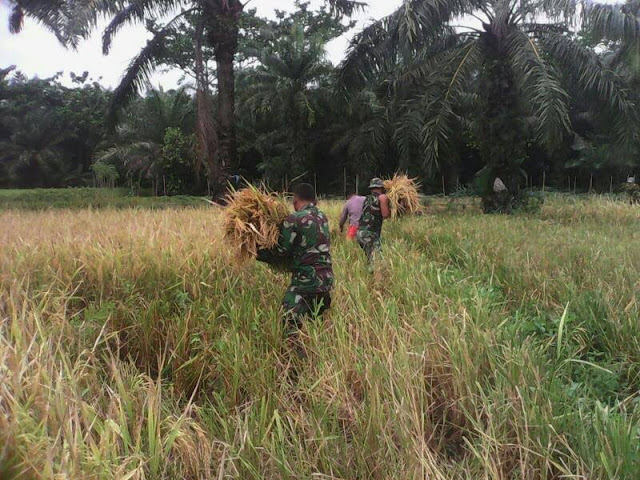 Babinsa Koramil 05/Tanjung Tiram Ini Turut Serta Memanen Padi di Desa Sungaibale
