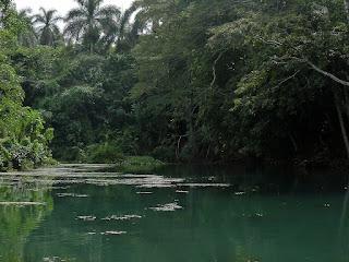 Kuba, Rio Canimar, Naturschutzgebiet La Arboleda, grünes unbewegtes Wasser, am Ufer dichte Büsche, im Hintergrund Wipfel von Palmen.
