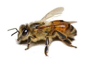 lebah madu jenis apis mellifera