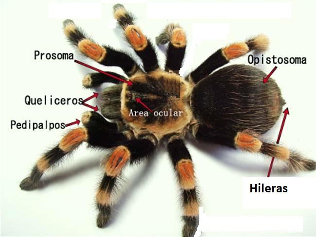 Arañas: II - Anatomia
