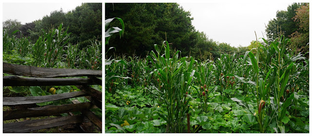 American sweetcorn and squash crops - Ulster American Folk Park - Carrie Gault 2018