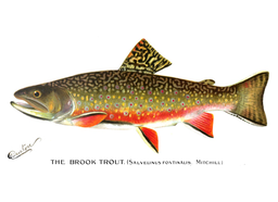 1896 watercolor of a brook trout by Sherman Denton