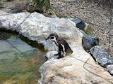 placuta cu informatii despre pinguinii peruvieni