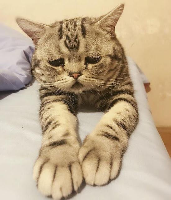 Bộ mặt buồn thiu như mất sổ gạo của boss mèo đáng yêu