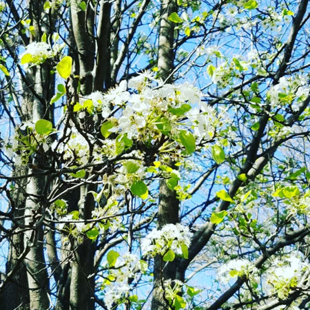 image of a tree with white blooms