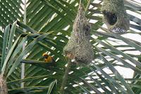 Bentuk Sarang Burung Manyar