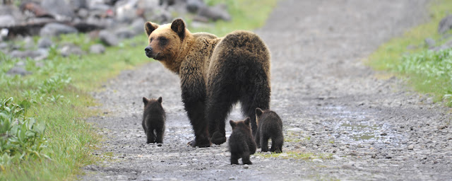 Beruang alam liar Hokkaido