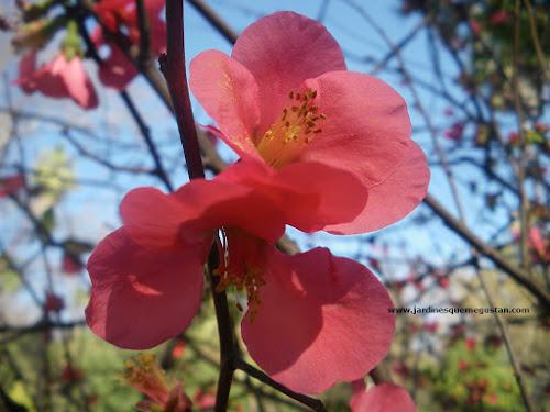 Flor de Membrillero Japonés