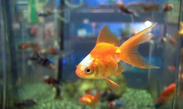 Mengatasi kutu ikan Mas Koi dan Mas Koki