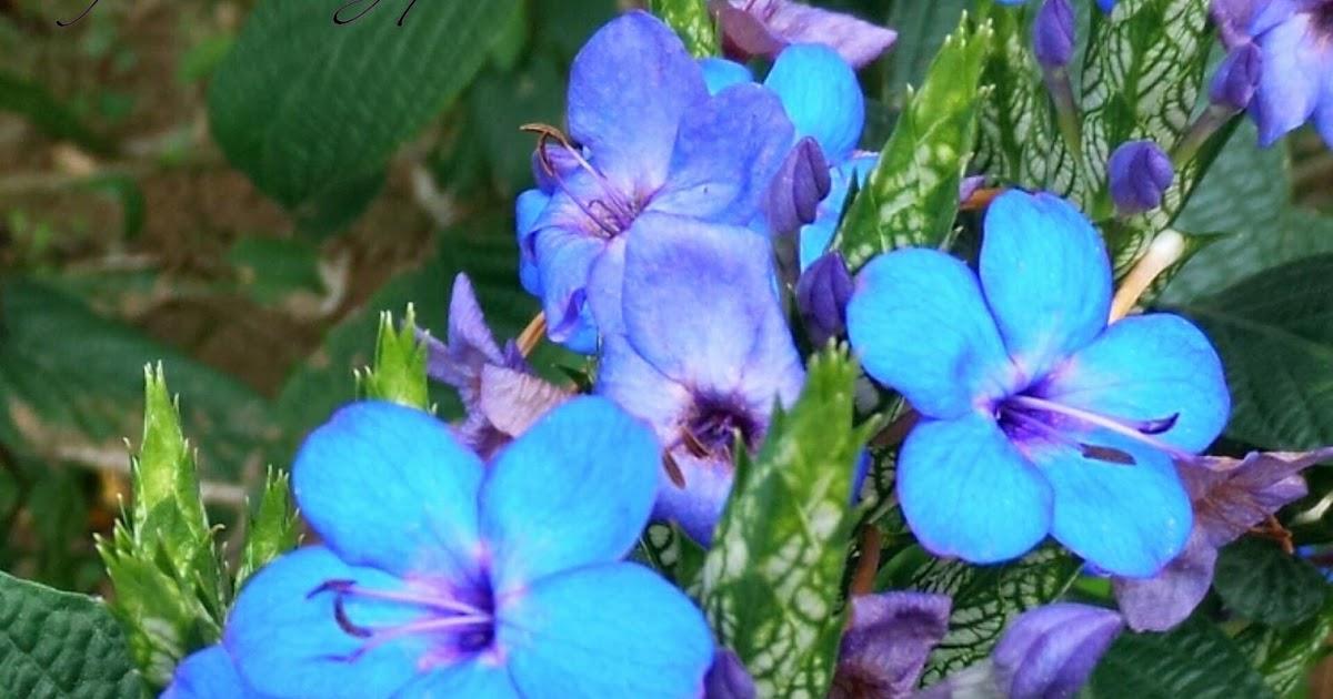 賞花情報: 紫藍色的花串-藍花仔
