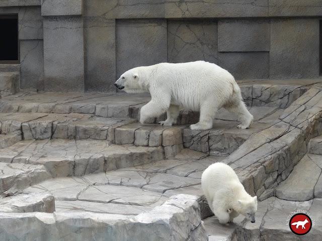 Ours blanc avec son petit au zoo de sapporo