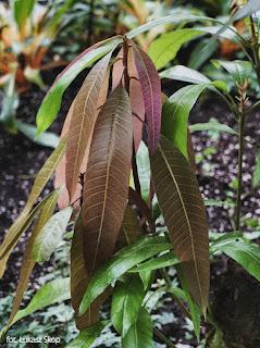 jak wygląda roślina mango