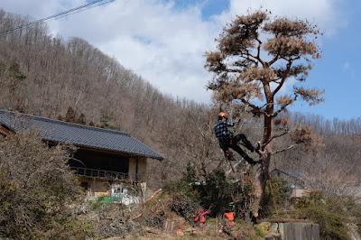工芸と喫茶ひとつ石の古民家の立派な松を伐採