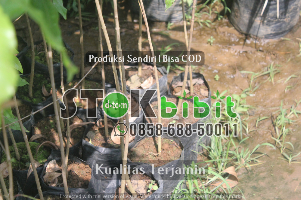 Bibit Lada Perdu ke Sumatra    berkualitas     terjamin