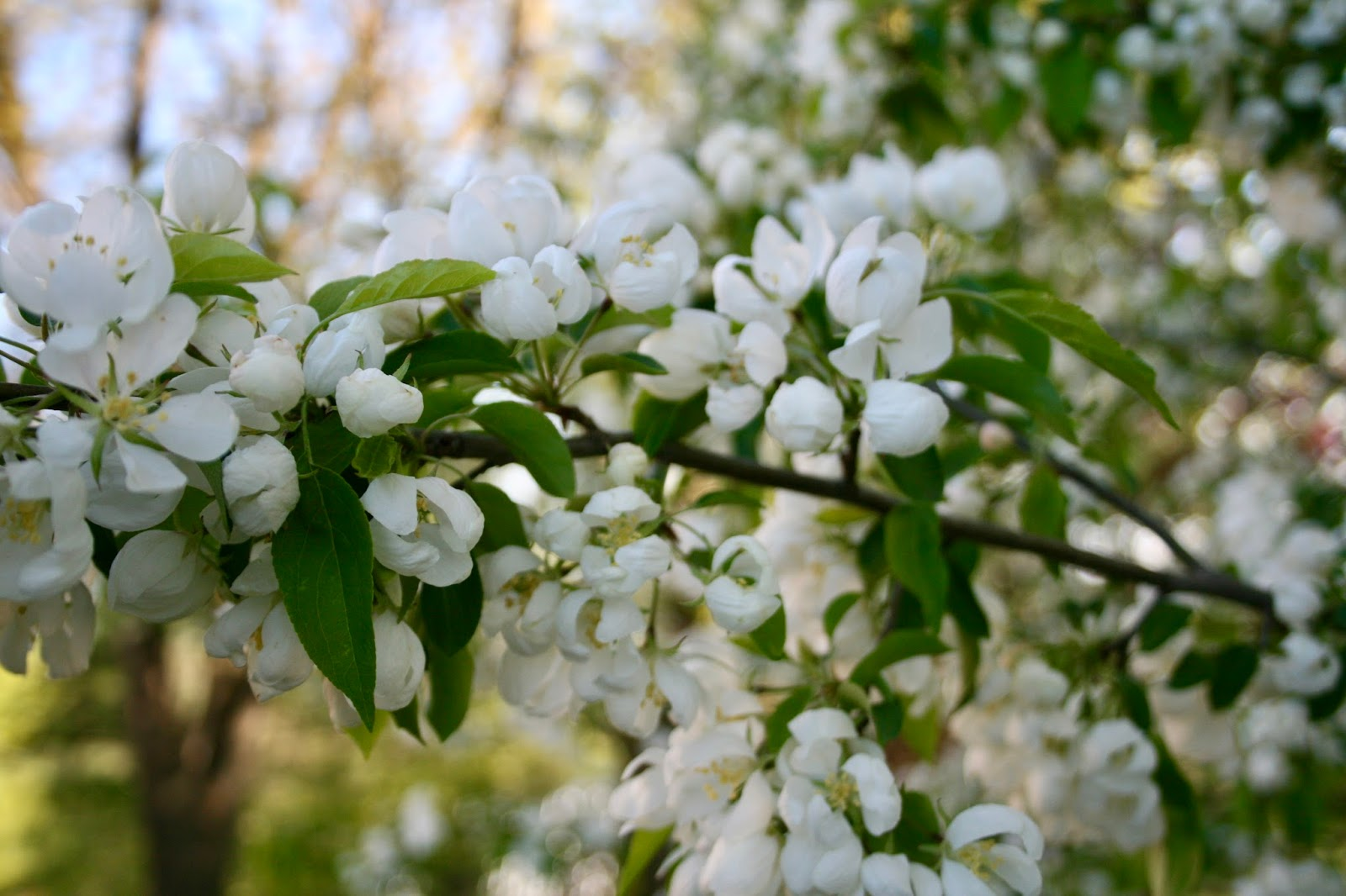 Amys Creative Pursuits My Spring Garden Flowering Crab Apples