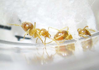 Workers of Lasius ant