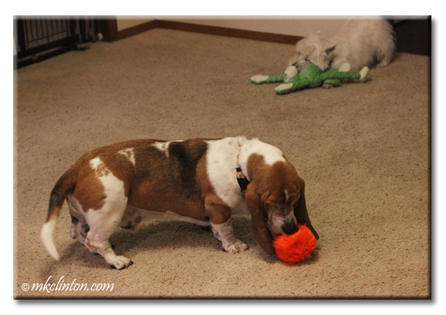 Bentley Basset Hound and Pierre Westie enjoying their new toys