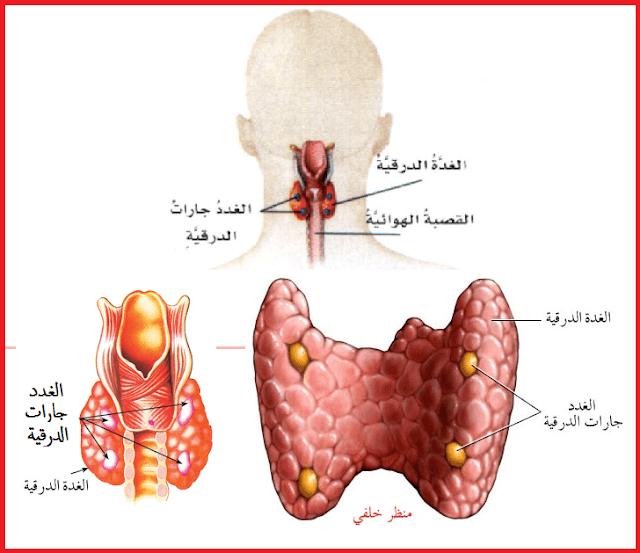 هرمونات الغدة الدرقية  الباراثورمون