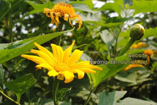 Hoa dã quỳ màu rực rỡ nên ai cũng thích, chụp lên ảnh đẹp