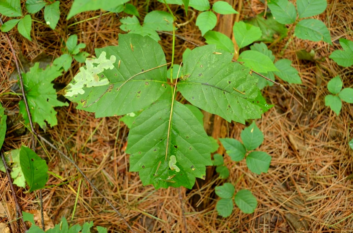 what does poison ivy leaves look like wild burlington ... - photo#16