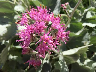 Adenostyles leucophylla (Cavolaccio lanoso)